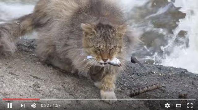 完全にワイルドだろ…川の流れを見極めるニャンコがスゴイ / 確実に魚を捕獲するテクニックが野生すぎる