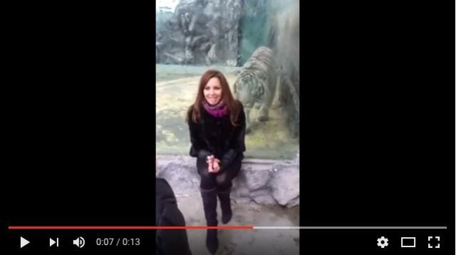 【ヒヤヒヤ動画】動物園でホワイトタイガーの目の前に座っていたら……思いっきり襲ってきたーーー!!