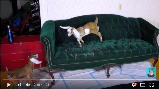 「はぁ…やっと登れたでちゅ」ソファに登りたくてたまらない赤ちゃんヤギさんたちの奮闘ぶりをご覧ください
