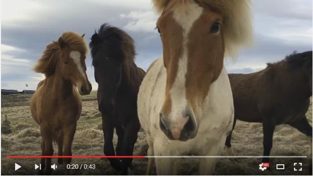アイスランドで暮らす野生の馬たちが好奇心旺盛すぎる! すぐ近くまで迫ってくるよおおお!!