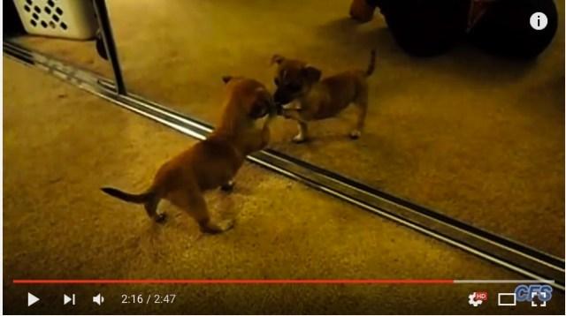 子犬たちが初めて鏡を見たときのリアクション動画にキュン死 / 威嚇したりペロペロしたり…みんな可愛すぎるんですけど!