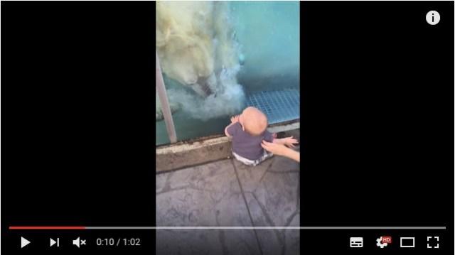 本当に食べたいくらい可愛かった!? でっかいシロクマさんが人間の赤ちゃんをガラス越しに襲うヒヤヒヤ動画
