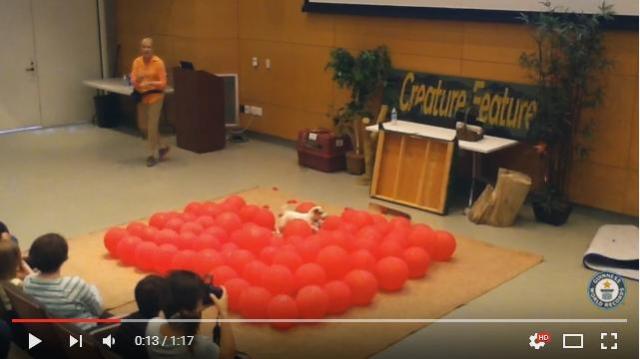 """親子2代で """"ギネス犬"""" になれたワン! 風船100個を世界最速で割るワンコの勇姿をご覧ください"""