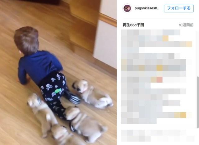 【パグまみれ】パグの子犬たちのリーダーはハイハイする赤ちゃん!パグまみれな日常がInstagramで人気です♪
