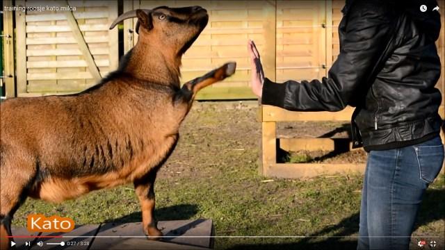 ヤギがもっと好きになる♪ 牧場の動物たちが芸を披露してくれる動画に「すごい犬、いや、ヤギか」