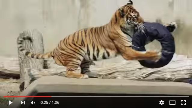 ライオンやトラなどの猛獣がジーンズをビリビリに…!! これぞワイルドすぎるダメージ加工の「ズージーンズ」なのだ!