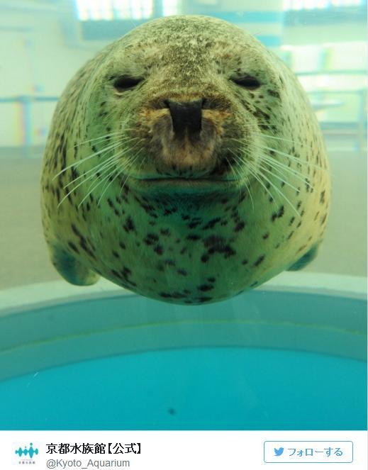 【奇跡の丸さ】アザラシまんまる! 京都水族館のアザラシ、ヒカルたんがまんまるです