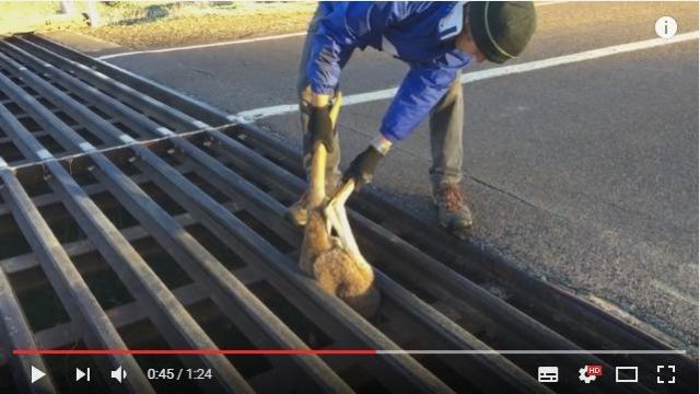 道路から足が生えてる!? まっさかさまの状態で溝にハマってしまった赤ちゃんカンガルーの救出劇