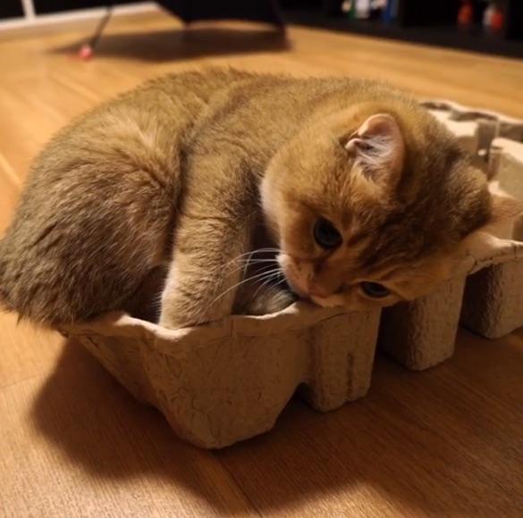 【悲報】やっぱり「猫は液体じゃない」ことが判明! 電化製品の箱に入るのにめっちゃ苦戦してる猫さん