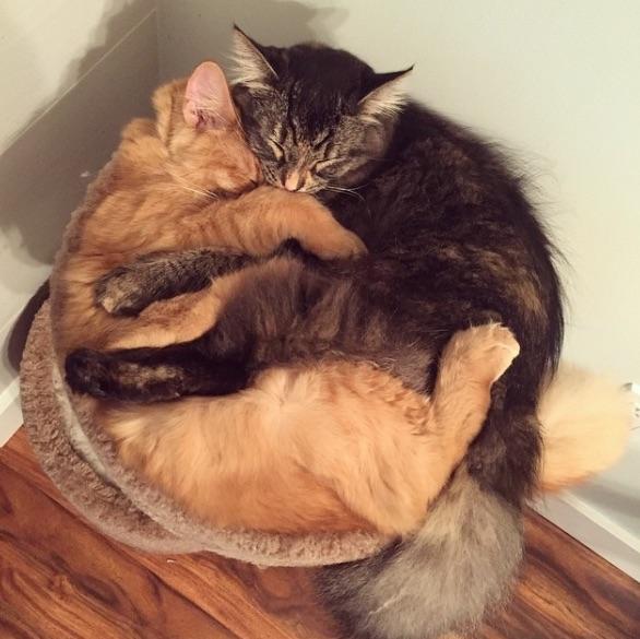 いつもぎゅーっと抱きしめ合って眠るメインクーン兄妹 「アモーレ感が半端ない」と話題デス♪