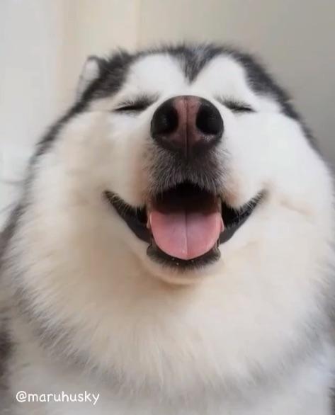 癒やし系、ときどき男前!「ハスキー史上最もまるい」maruちゃん、表情の切り替えが神がかりすぎ〜!!!