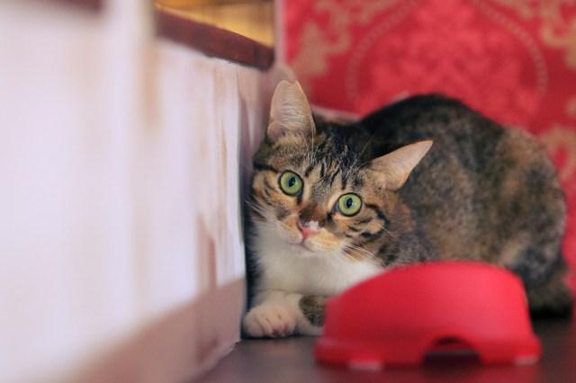 「りんご猫」への理解を… りんご猫だけの猫カフェがオープン / りんご猫ってどんなニャンコなの?