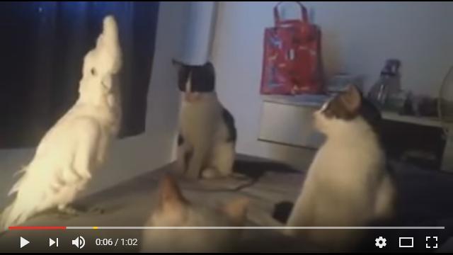 【モノマネ上手すぎ】猫の集会にオウムが乱入! 鳴きマネでニャンコに成りすますの巻