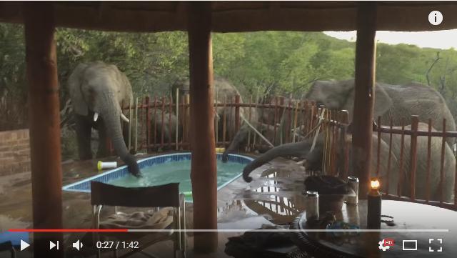【嬉しいハプニング】宿泊している家のプールにゾウさんたちがやってきた! ド迫力な光景にみんな大興奮です