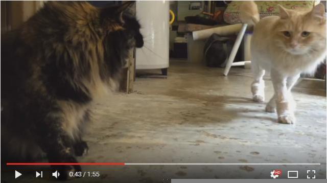 【悲しい】そばを通るたびに「シャーーー!!!」兄猫がサマーカットしたところ妹猫との仲が険悪に……
