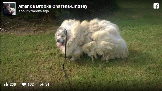 もっふもふのヒツジかと思いきやワンコ! 6年間放置された犬の毛をカットしてみたら…なんと16kgもあったそうな