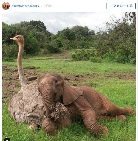 赤ちゃんゾウとダチョウが仲良くお昼寝 / 不思議な組み合わせだけれど友情を育みあう姿が微笑ましいです