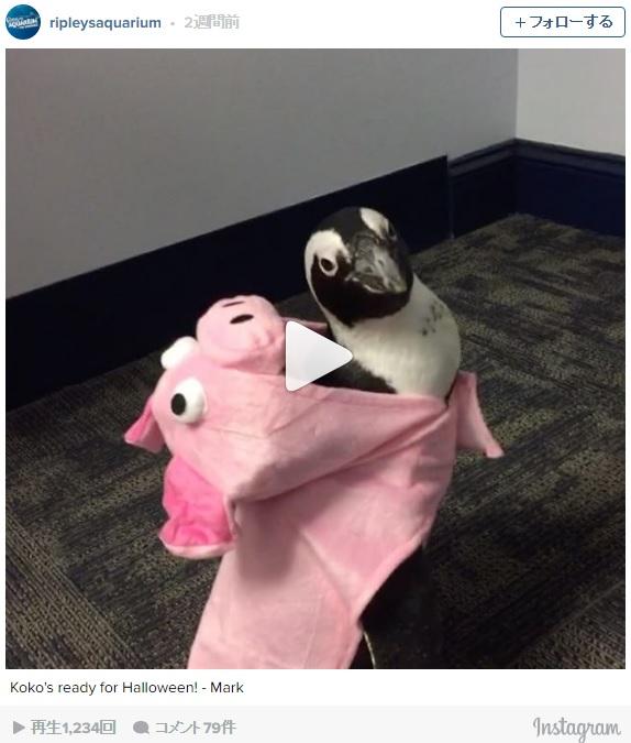 ペンギンがブタちゃんのコスチュームを着ると…ちょこまか歩く姿が可愛すぎるよ〜