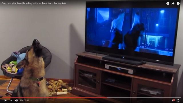 映画「ズートピア」の遠吠えシーンに参加するシェパードが大人気に→世界中のワンコも遠吠えをマネし始める