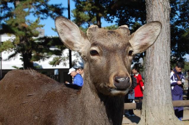奈良公園の鹿は日本人に冷たい!? 外国人観光客にだけ愛想がいいってホントなの? 奈良県民の私「鹿せんべいやろ(笑)」