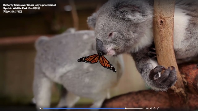 コアラのお鼻にちょうちょが止まっただけで…こんなにカワイイのはどうしてなの? 「奇跡の瞬間」「ディズニーアニメみたい」と世界中がほっこり