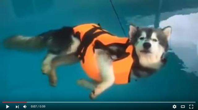 犬かきを忘れたハスキー、プールでただようの巻 / リラックスした顔と低めのテンションに癒やされる…