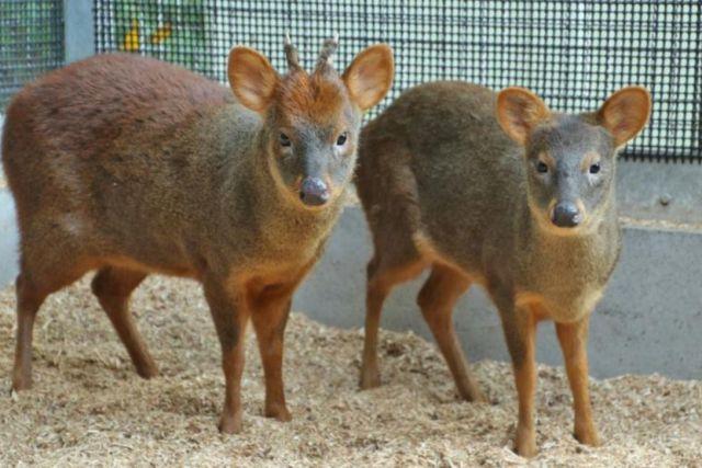 【日本初上陸】世界最小のシカ「プーズー」に会えるよ♪ 埼玉県こども動物自然公園で展示がスタートするでござる