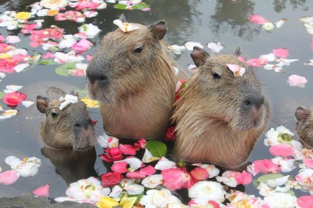 シャボテン公園冬の名物「元祖カピバラの露天風呂」が始まるよ♪ 風呂にぼ〜っと浸かる姿を見て癒されよう