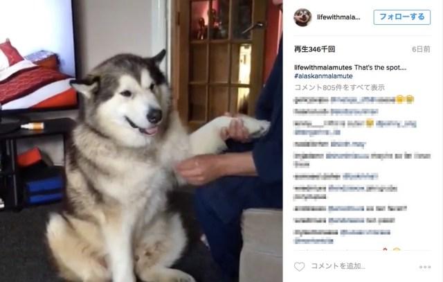 【あぁ抱きしめたい】 ふにゃふにゃフェイスで甘え上手! ハスキー犬そっくりな犬種「アラスカン・マラミュート」が可愛すぎるぅ♪