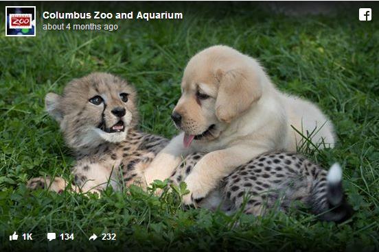 【もふもふ】ワンコはチーターの「親友」であり「セラピスト」!? アメリカの動物園で暮らす異種同士の仲良しコンビ