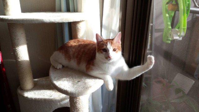 このネコの手は借りたいニャ! ムッキムキの筋肉を自慢げに見せてくるニャンコ