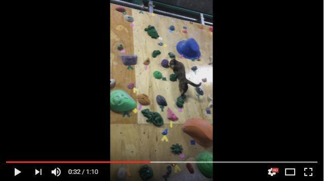 【壁を登るのニャ】ボルダリングジムの猫店長が華麗なクライミングを披露 / 優雅に壁を制覇する様子をご覧ください