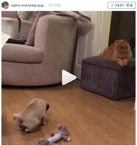 「もっと僕を見て! かまって!!」アプローチしまくるパグ vs ことごとく塩対応する猫兄さん