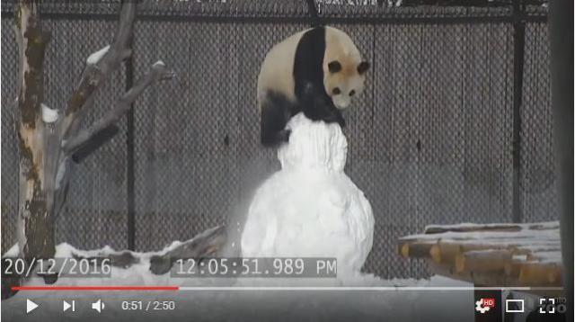 「雪だるまだ! 嬉しーい♪」喜ぶパンダたんの愛情表現が激しすぎて雪だるまが大ピンチに…