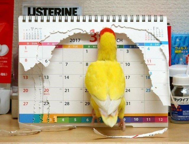 【さすがとり年】おや、もう3月か…って違う違うそうじゃない! カレンダーに過激なイタズラをしたインコがかわいすぎて怒れない