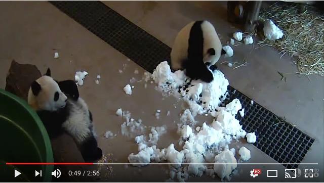 【子パンダ】「かまってよー」「雪遊びしてるの!」 遊ぼうアピールを無視されまくりのパンダさんがせつなかわいい