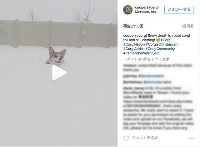 【埋まりすぎ】ほぼ顔しか出てない…それでも嬉しそうに雪の中を前進するコーギーたん