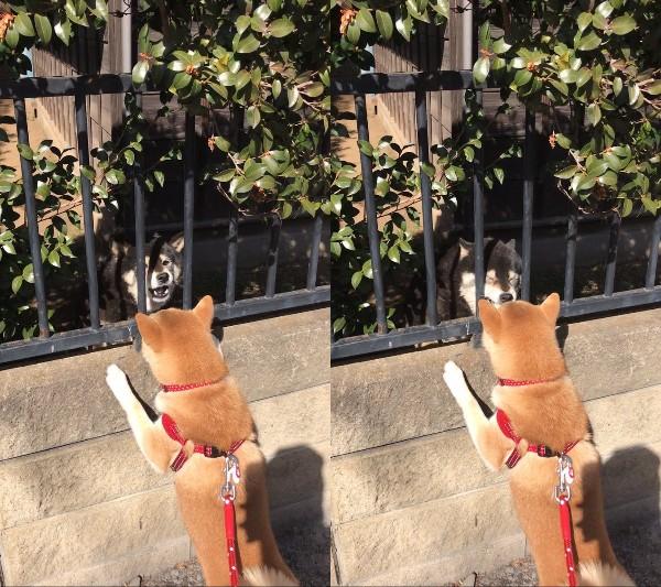 お散歩中の柴犬に降りかかったハプニングとは!? 四コマ漫画みたいな展開に、かわいそうだけどちょっと笑っちゃう!