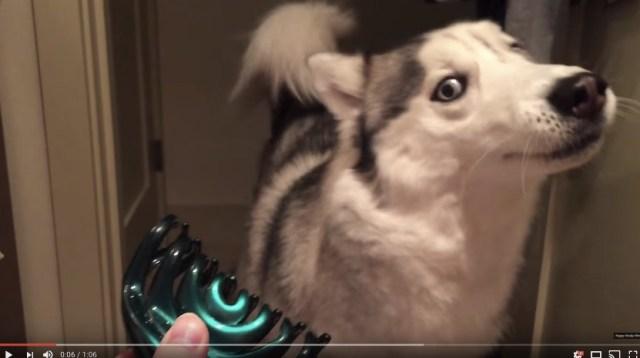 「なんやのそれ!! あっちいってや!」ヘアクリップを超超超警戒するハスキー犬が可哀想だけどかわいい