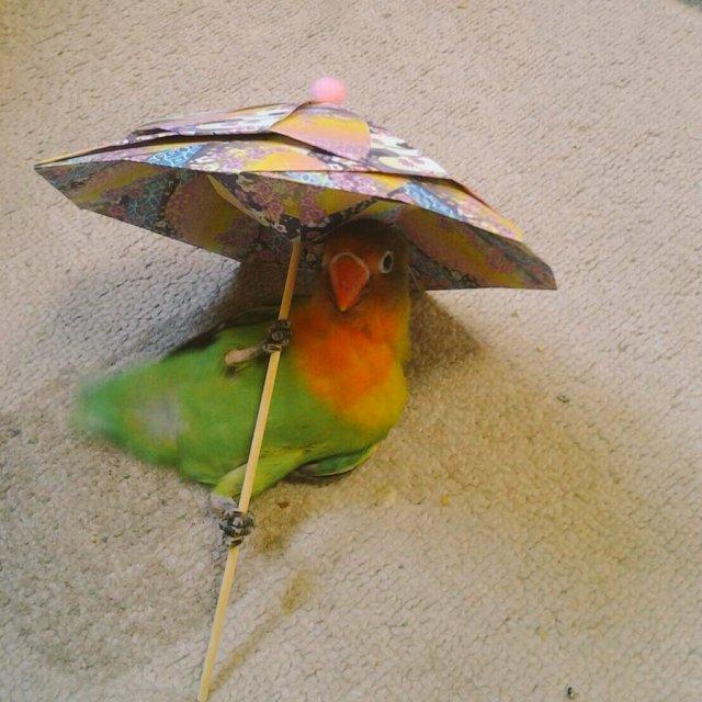セクシーポーズをキメキメなインコが激写されたよ / 和柄の傘をさして寝そべる姿が妙に色っぽいです♪