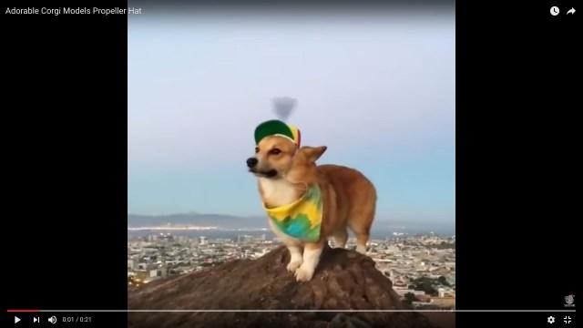 【激かわ】プロペラ帽子をかぶっているコーギーたんがただただかわゆい動画はこちらです