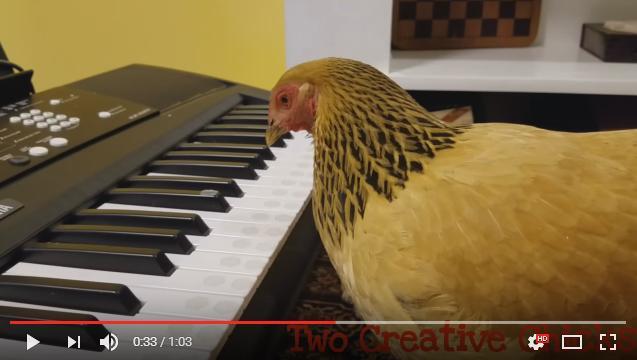 リアル『ブレーメンの音楽隊』!? 見事なキーボード演奏を披露するニワトリさんをご覧ください