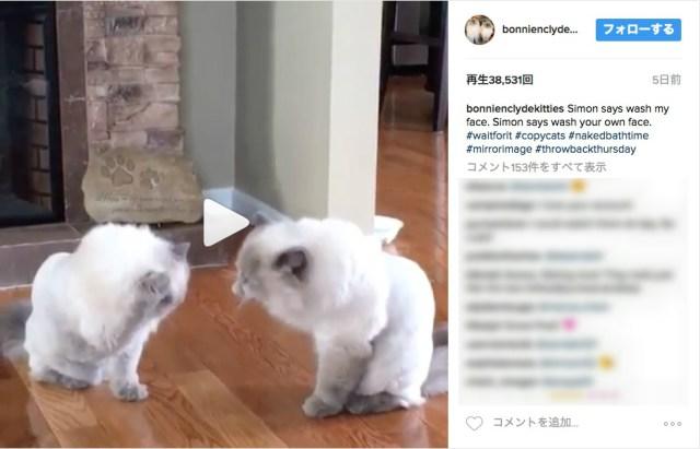 まるで鏡のようにシンクロする猫さんたち!! 向かい合った瞬間から始まる毛づくろいの様子をご覧ください