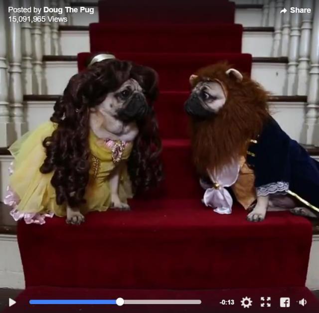 パグが主役の『美女と野獣』パロディー動画にジワリ / 豪華セットの中、役になりきった切ないパグの表情がたまらない