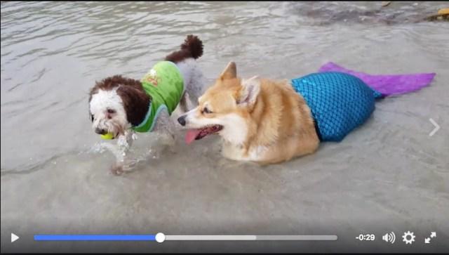 """【似合う】人魚…じゃなくて """"犬魚"""" 発見!? 海辺でバカンスを楽しむコーギーたんをご覧ください"""