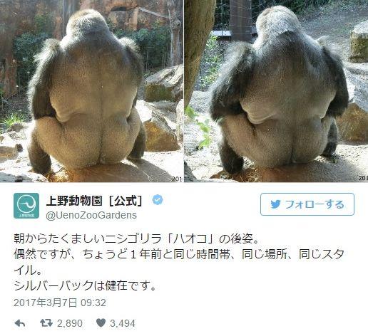 これがいぶし銀ってやつか…上野動物園のゴリラ「ハオコ」の後ろ姿が今年もカッコイイ / ちょうど1年前と同じ場所に座って背中で人生語ってます