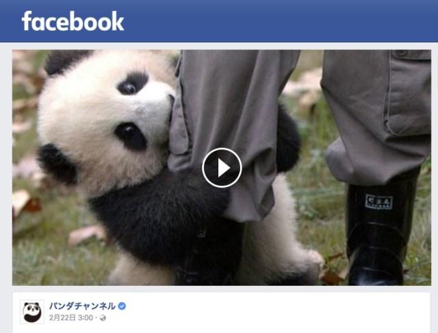 「仕事しないであーそーぼ!」何度引っぺがしても飼育員さんの脚にからみつくお邪魔虫な子パンダがかわいすぎる