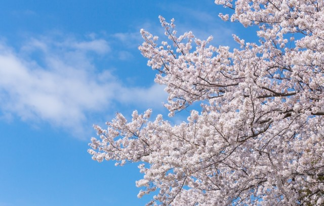 春だ! 花見だ! 都道府県別「桜の名所第1位」をチェックしてみよう☆