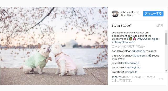 【ズルい】桜をバックにワンコが婚約写真を撮影!!  仲睦まじいワンコカップルに胸のキュンキュンが止まりませんっ