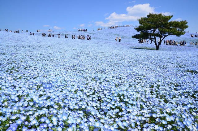 見渡す限り一面ブルーの丘♪ 茨城県国営ひたち海浜公園の「ネモフィラ」が見ごろを迎えたよ~っ